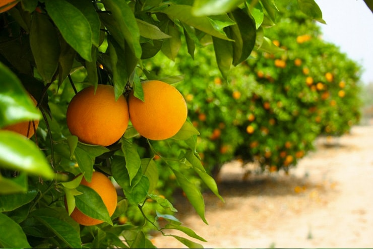 Saving Our Citrus Crops